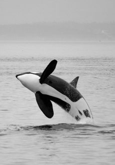 Orca whare breaching alomost fully out of the water